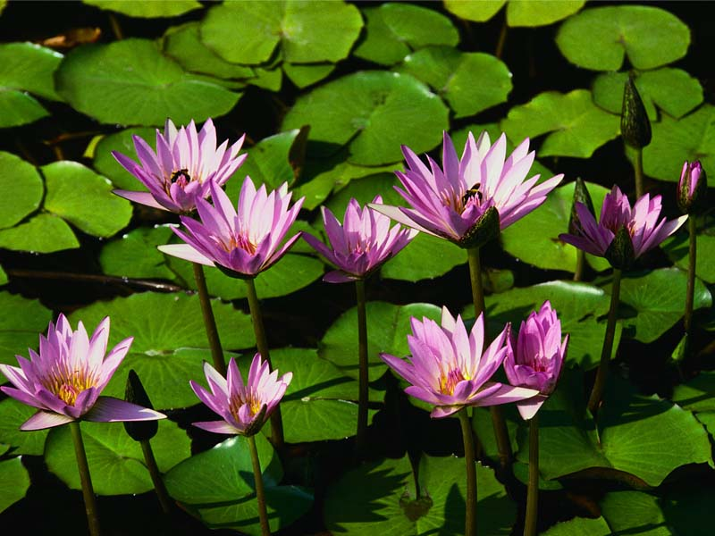 inland/Water lilies.jpg